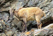 新西兰南岛的喜马拉雅塔尔羊 Tahr