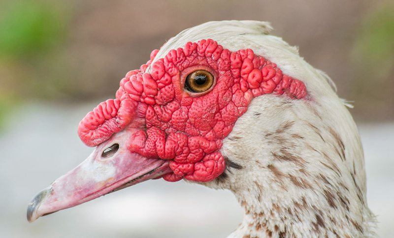 Muscovy duck face