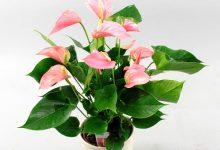 新西兰人夏季最爱的室内植物火鹤花 Anthurium