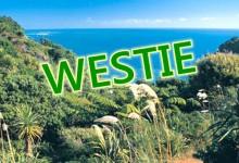[短百科]奥克兰西区人Westie