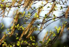 新西兰八月份容易导致过敏的花粉