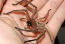 奥克兰Avondale蜘蛛