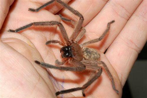 avondale-spider