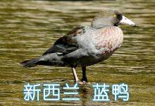 新西兰蓝鸭 Whio (Blue Duck)
