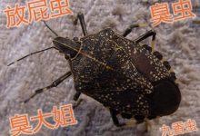 """新西兰害虫""""椿象""""(臭大姐)Brown Marmorated Stink Bug"""