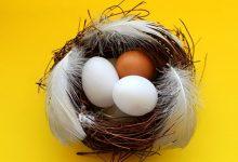 新西兰蛋鸡品种 Brown Shavers