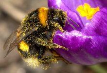 新西兰熊蜂 Bumble bees