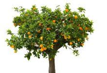 """邻居家果树上的""""越界""""果实可以摘下来吃吗?"""