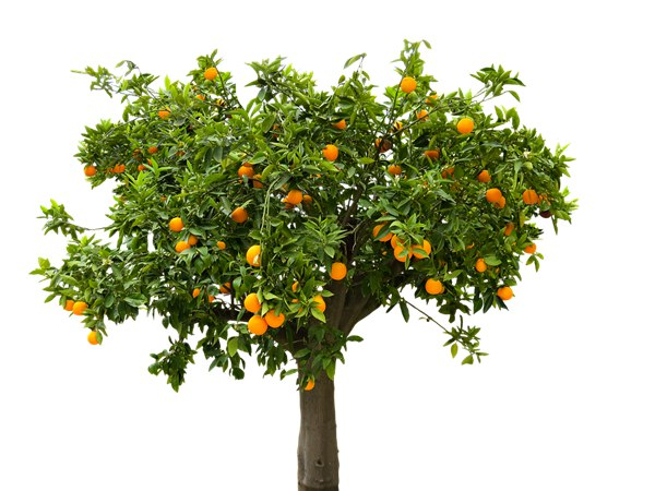 cannot-pick-fruit-from-over-boundary-tree