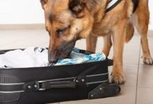 新西兰海关现金稽查犬Cash Sniffing Dogs