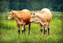"""牛年与""""牛""""相关的英文小知识"""
