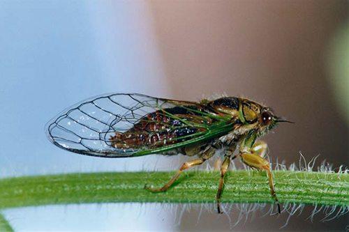 cicada-kihikihi