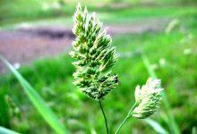 新西兰十二月份容易导致过敏的花粉