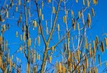 新西兰四月份容易导致过敏的花粉