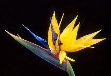 """新西兰花园景观植物""""天堂鸟"""" Crane flower"""