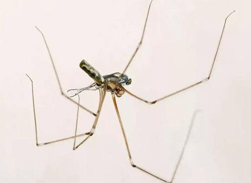 daddy-longlegs-spider