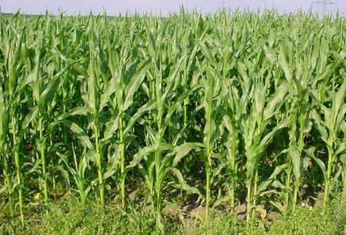 dense-maize