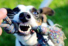 如何通过宠物狗的牙齿来判断它的年龄