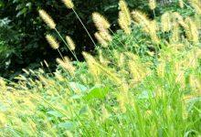 新西兰一月份容易过敏的花粉