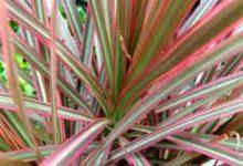 新西兰室内观赏植物五彩千年木 Dracaena