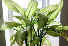 新西兰室内盆栽植物花叶万年青 Dumb Cane