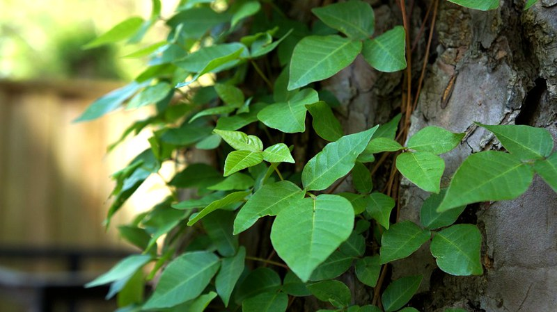 easy-to-identify-poison-plants-by-leaves