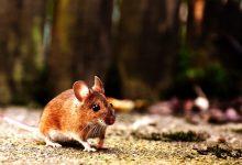 简单的方法驱逐家中和花园里的老鼠