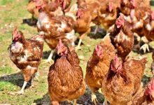 新西兰蛋鸡养殖业每只鸡日消耗饲料是多少?