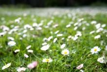 如何除去草坪上的白色小菊花?