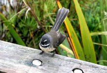 """新西兰鸟类""""扇尾雀"""" Fantail"""