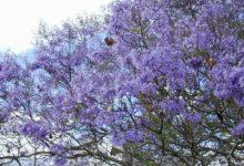 新西兰泡桐 Paulownia