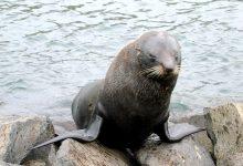 新西兰海狗 Kekeno