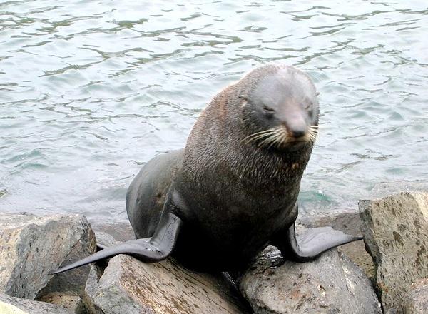 fur-seal-kekeno