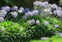 新西兰景观植物百子莲 Agapanthus