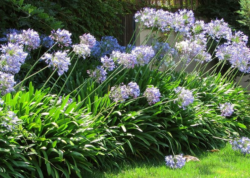 garden-plant-agapanthus