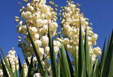 新西兰常见庭院植物丝兰 Yucca