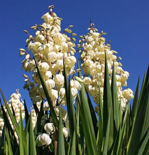 garden-plant-yucca-flower
