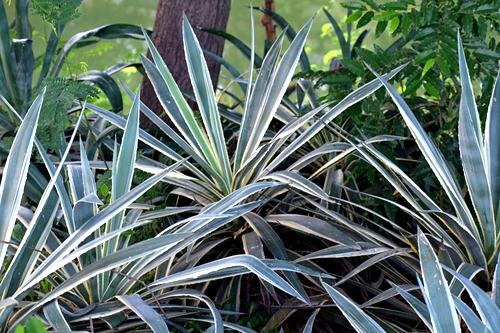 garden-plant-yucca