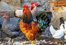 """新西兰英语中对""""鸡""""的英文称呼"""