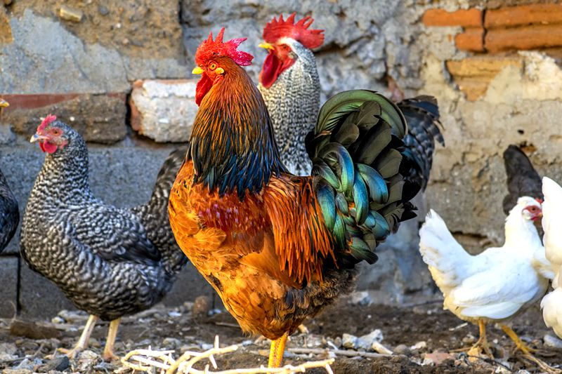 glossary-of-chicken-terms