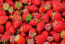 如何在新西兰的草莓园正确采摘?