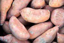 如何在新西兰自家花园种红薯?