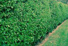 新西兰绿篱植物Griselinia叶子打蔫发黑是什么病?
