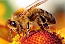 [短百科]曼努卡蜂蜜是标号越高越好吗?
