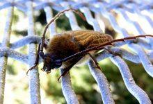 新西兰胡虎甲虫 Huhu Beetle