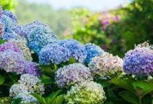 新西兰绣球花Hydrangeas