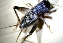 新西兰蟋蟀Cricket(毛利语Pihareinga)