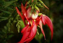 新西兰本土植物红耀花豆Kaka beak