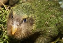新西兰鸮鹦鹉 Kakapo