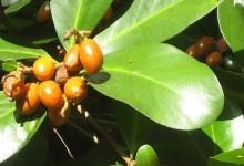 新西兰有毒植物卡拉卡Karaka